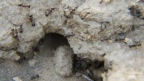 Ants work for the benefit of their colony Footage