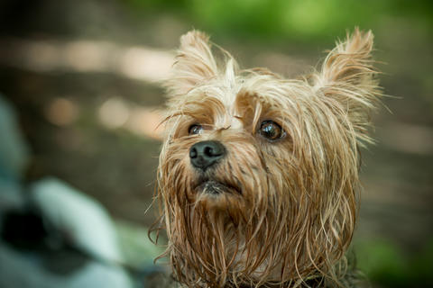Cute Yorkshire Terrier on a walk Photo