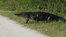injured after territorial fight alligator crossing a park trail Footage