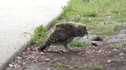 Young barred owl plays with a caterpillar Footage