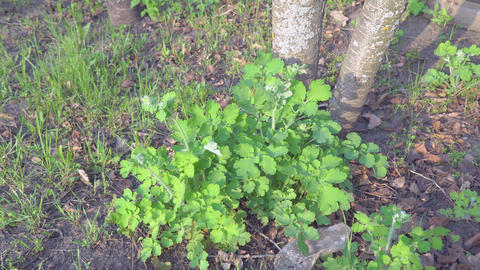 Green bush celandine Live Action