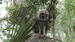 young barred owl wondering around Footage