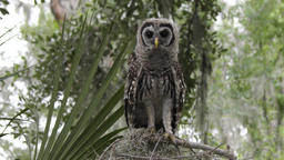 young barred owl looks around and flies towards a camera Footage