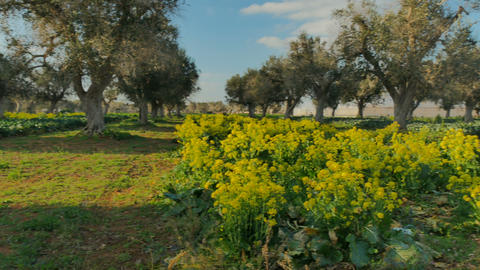 Broccoli flowers after harvest along olive trees Footage