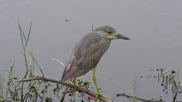 Immature Black-crowned night heron perched Footage