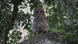 barred owl hooting on a branch Footage