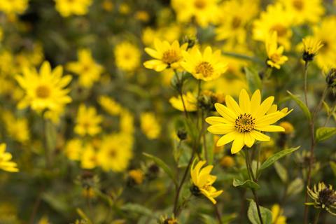 Common Ragwort Senecio jacobaea - beautiful yellow flower closeup macro Fotografía