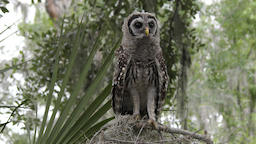 young barred owl looking around Footage
