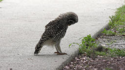 young barred owl playing with a caterpillar Footage