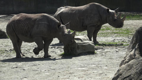 Two endangered rhinoceros (Diceros bicornis) standing close to each other Footage