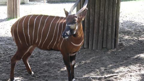 Mountain bongo antelope Tragelaphus eurycerus. Extremely rare animal Live Action