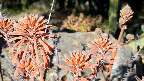 Aloe flowers Stock Video Footage