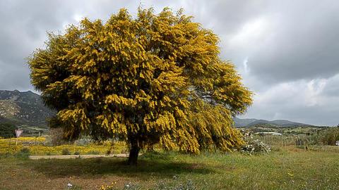 mimosa tree Stock Video Footage