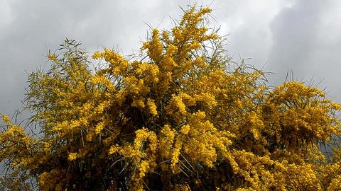 mimosa tree Footage