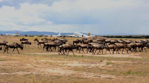 buffalo Stock Video Footage