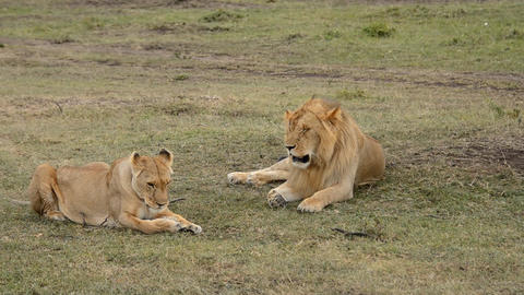 lions Footage