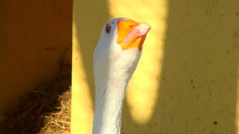 goose shouts and worries Stock Video Footage