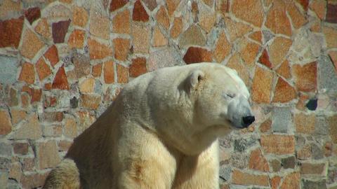 polar bear is heated on the sun Footage