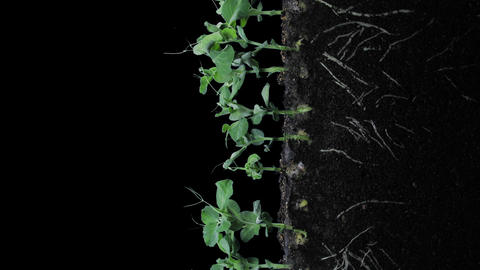 Time-lapse of growing pea vegetables in RGB + ALPHA matte format, vertical Footage