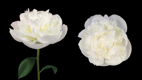 Time-lapse of opening white peony in RGB + ALPHA matte format Footage