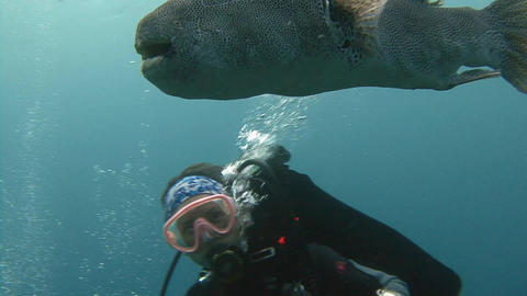 Fish puffer courting the diver Footage