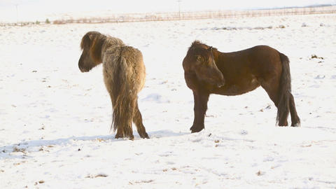 Two Icelandic horses take care of each other Footage