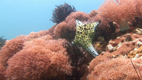 On the reef in large quantities there are different types of starfish Footage