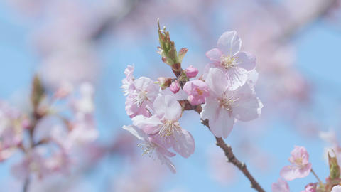 Kawazu Cherry blossoms,in Showa Memorial Park,Tokyo,Japan,Filmed in 4K Footage