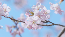 Kawazu Cherry blossoms and Honeybee,Tokyo,Japan,Filmed in 4K Footage