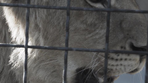 Sad eyes of lioness behind the cage cells Live Action