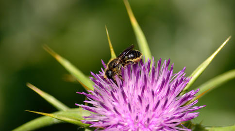 Small bee on thistle flower Photo