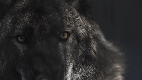 Eyes of black wolf in black cave Live Action