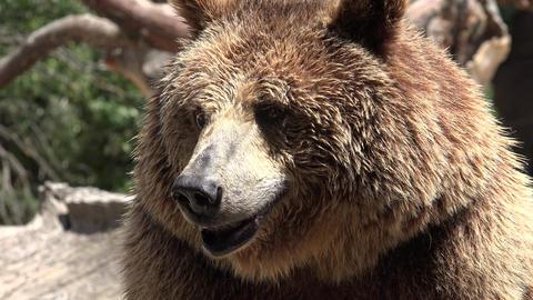C0301 wild brown bear in wilderness Footage