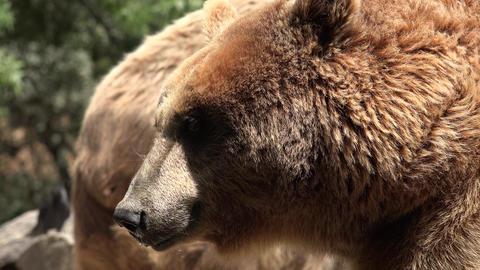 C0317 wild brown bear in wilderness Footage