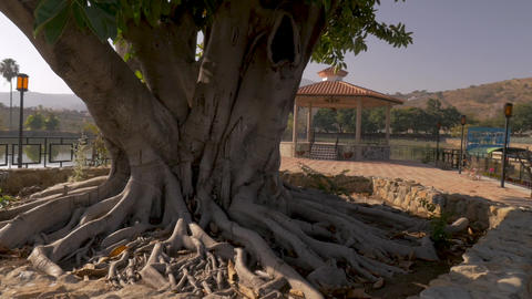 Camera circles around a large tree with exposed roots in a park along a GIF