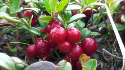Plants and berries small fruit unique wildlife of Karelia Footage