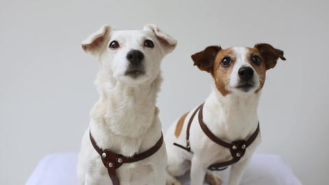 two Jack Russell Terrier at home interior Footage
