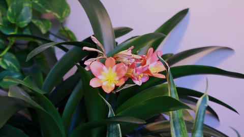 Flowering houseplant Clivia/blooming blooms Footage