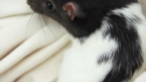 close-up of a domestic furry and funny rat. Our pets Footage