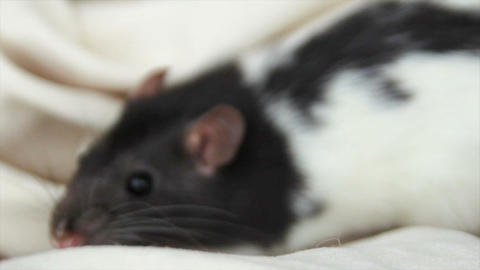 close-up of a domestic furry and funny rat. Our pets Stock Video Footage