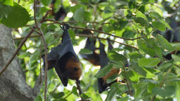 Fruit Bats Hanging Upside Down on tree Footage