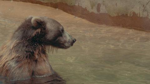 Bear swimming in 4K Footage