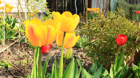Yellow and red tulips on flower bed in April. Springtime garden Footage