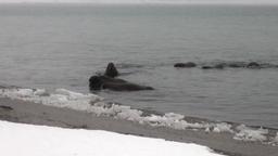 Group of walruses swim in cold blue water of Arctic Ocean in Svalbard Footage