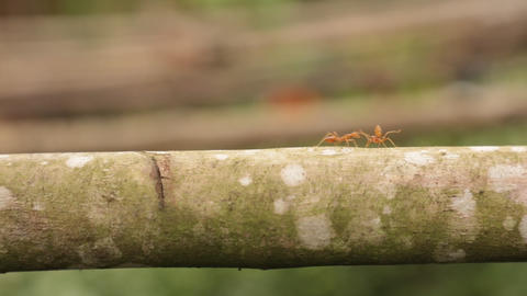 Red Ant Walking Across A Branch HD Clip Footage