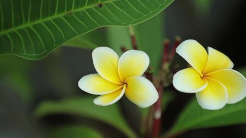 Plumeria Frangipani Flowers Panning High Definition Footage