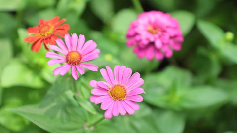 Zinnia Lilliput Garden Flowers Stock Footage High Definition Live Action