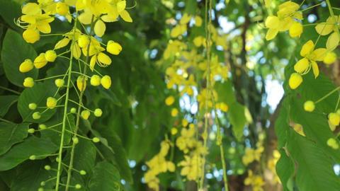 Golden Shower Tree Flowers Panning High Definition Footage