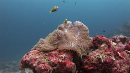 Anemone and clownfish underwater on seabed of wildlife Maldives Footage