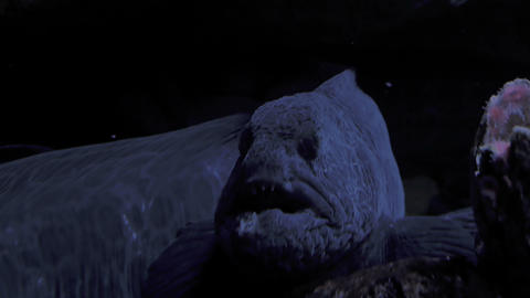 Angry Wolf eel in 4K Footage